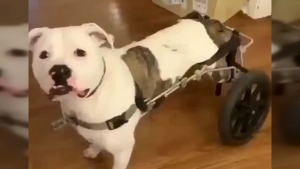 wheelchair dog
