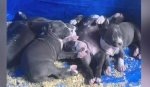VIDEO: A Sudbury man is upset after two litters of puppies were stolen from his home. Ian Campbell reports.