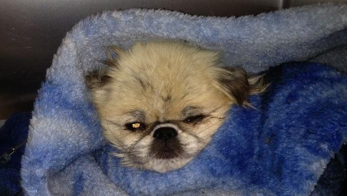 Emergency fund page set up for badly-abused Pekingese dog; investigation underway