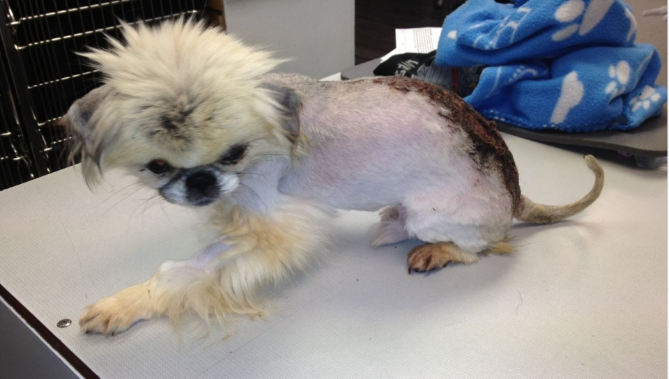 Falcor, a Pekinese mix, was taken to a veterinary clinic after staff at the North Cariboo SPCA discovered his rotting wound. (BC SPCA)