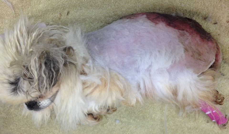 Falcor's wound was rotting and covered in maggots when he was brought into the North Cariboo SPCA in Prince George. (BC SPCA)