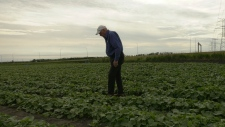 Kulhmann's Greenhouse Owner Dieter Kulhmann says it has been difficult to grow cucumbers this summer.