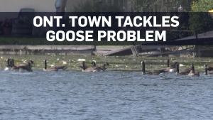 Ont. town funds patrol to deal with goose problem