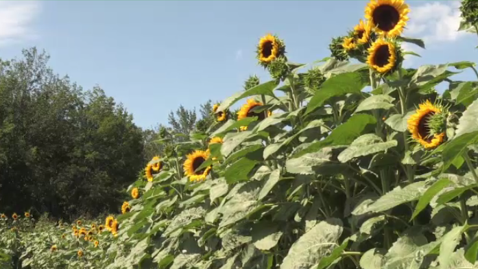 First annual New Brunswick Sunflower Festival kicks off to picturesque results