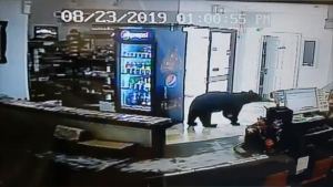 A bear wandered into the Red Earth Inn, 400 kilometres northwest of Edmonton, Friday afternoon. (Courtesy: Red Earth Inn)
