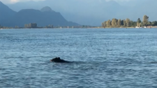 Video from boat shows bear swimming in Pitt Lake