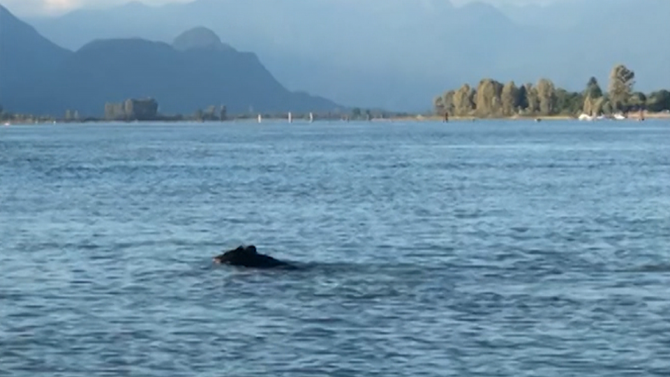 A still image from video captured by Shanna Amaral shows a black bear swimming in Pitt Lake on Sunday, Aug. 25, 2019.