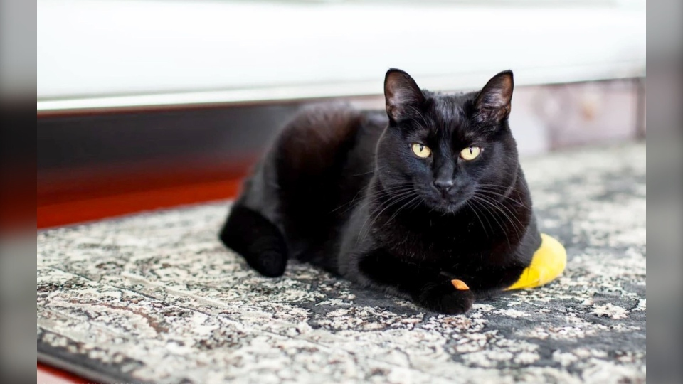 Midnight is a 10-year-old female available at ARTS Senior Animal Rescue. (ARTS Senior Animal Rescue)
