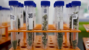Marijuana samples are organized at Cannalysis, a cannabis testing laboratory, in Santa Ana, Calif., on Aug. 22, 2018. (Chris Carlson / AP)