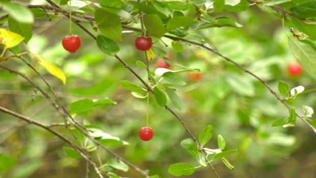 Cherry Farm