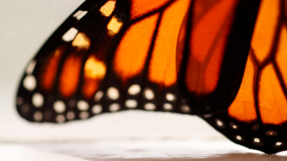 This photo shows a monarch butterfly wing soon after it emerged in Washington, Sunday, June 2, 2019. Monarch butterflies have dropped in number significantly in Canada, largely due to loss of milkweed plants. (AP Photo/Carolyn Kaster)