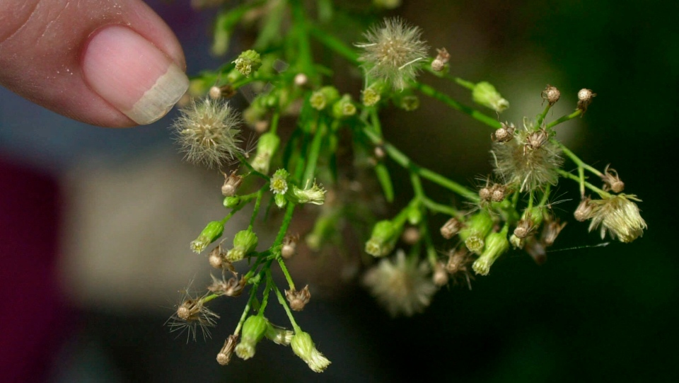 In this Aug. 14, 2001, file photo, Loretta McConegy points to the pollen on a ragweed plant in Newark, N.J. Allergies have gotten worse with longer season and more potent pollen. (AP Photo/Daniel Hulshizer, File, File)