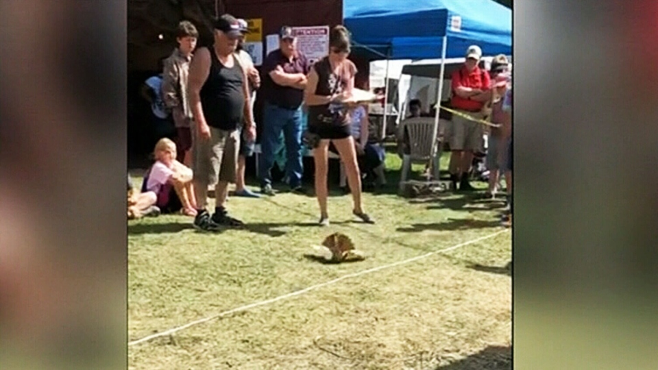 A roller pigeon tumbles head over talons in this video taken at the Harrow Fair.