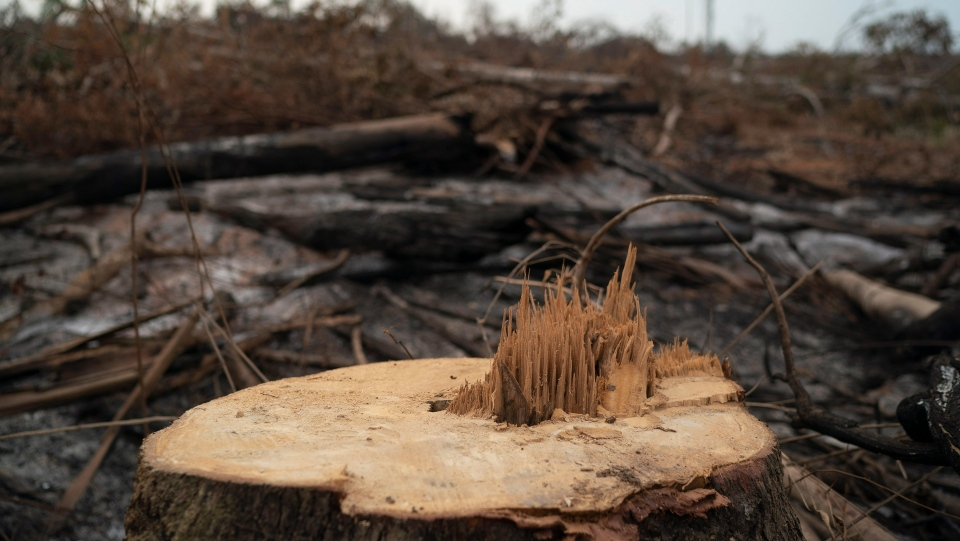 A cut tree stands in a burned area near the Krimej indigenous village of the Kayapo indigenous group in Altamira, Para state, Brazil, Saturday, Aug. 31, 2019. Much of the deforestation in the Brazilian Amazon is done illegally -- land grabbers burn areas to clear land for agriculture and loggers encroach on national forests and indigenous reserves. (AP Photo/Leo Correa)