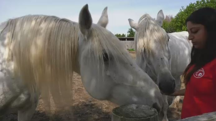 A Horse Tale Rescue in Vaudreuil works with retired caleche horses.