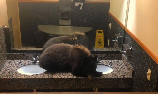 Black bear sleeping Montana