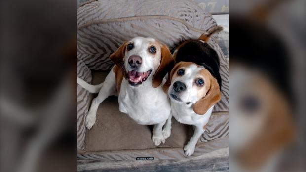 Keisha the beagle