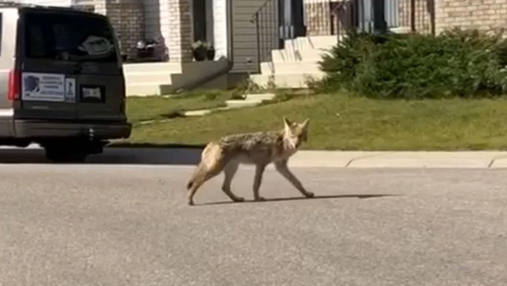 calgary, coyotes, arbour lake, wildlife, animals,