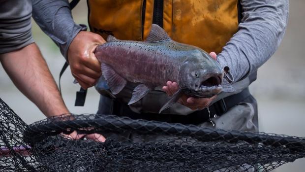 Fraser river salmon