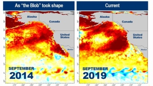 A comparison of the 2014 marine heatwave known as 'the Blob,' and the 2019 formation. (NOAA)