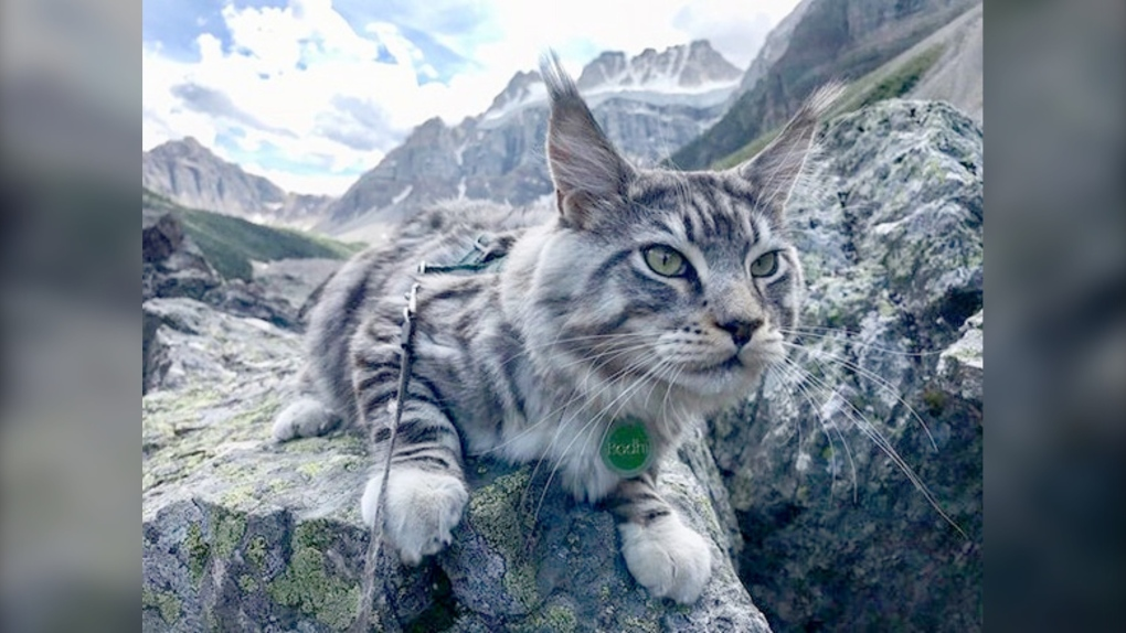 Bodhi the Adventure Cat proves mountains aren't just for dogs
