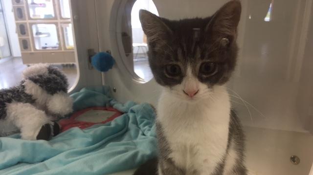 Cat at the Stratford-Perth Humane Society.