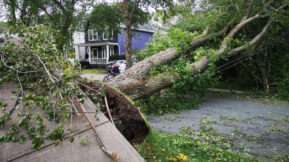 Homeowners on Preston Street in Halifax were asking people not to use this downed tree to pose for selfies on Sept. 8, 2019 after Dorian swept through the region. (Amy Stoodley/CTV Atlantic)