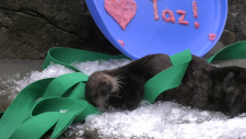 Otters at Vancouver Aquarium