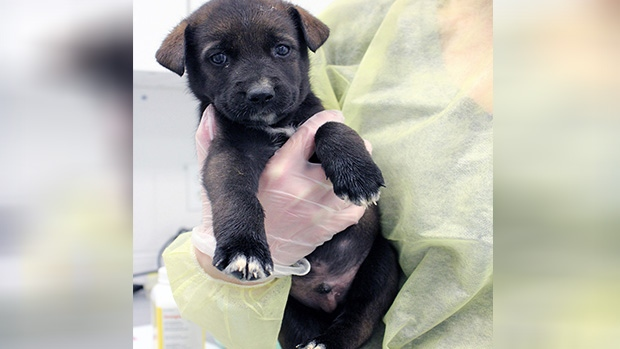 Midland OSPCA receives special delivery of 46 rescue pups