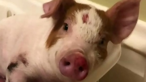 Meet 'Mango' the pig, rescued from roadside