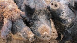 This April 18, 2012, photo shows a Mangalitsa boar, left, and two Russian swine on a farm near McBain, Mich. (AP Photo/John Flesher)