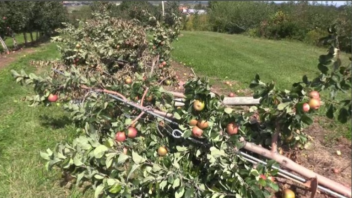 At one apple orchard in Pereau - the season's harvest is on the ground. It's a loss, says the producer, of 80 per cent of his revenue.