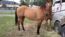 Lightning blamed in Chilliwack horses' death