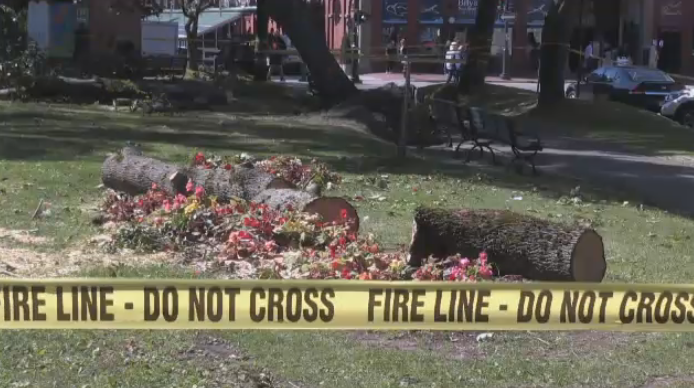 The city of Saint John has said it plans to explore options to salvage some of the wood in a way that respects the history of the trees in King's Square.