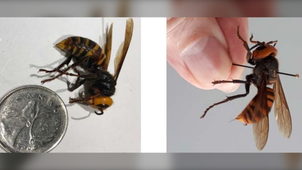 Asian giant hornets found on Vancouver Island | CTV News