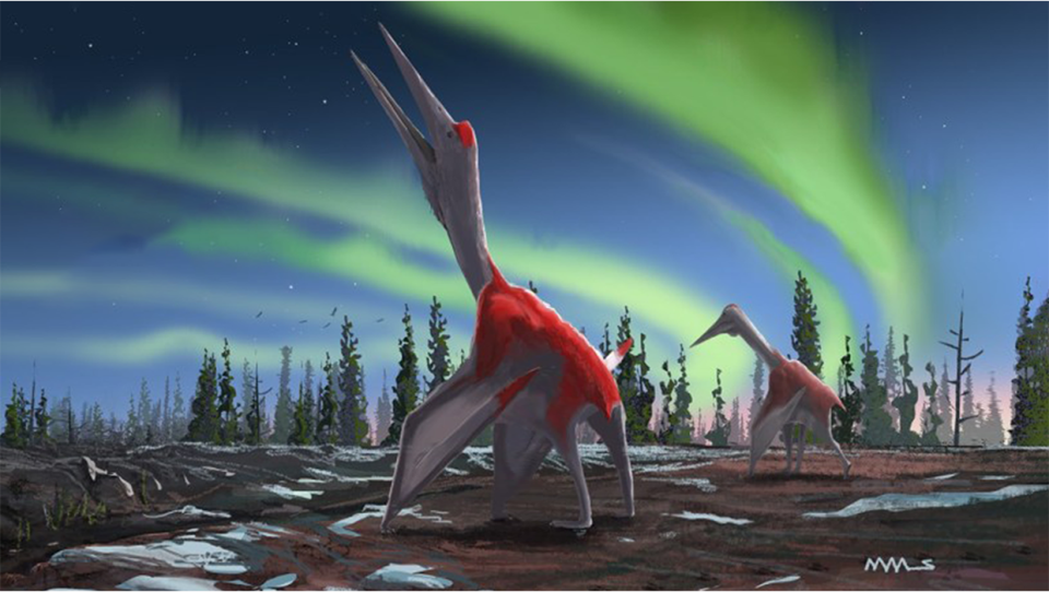 Artists rendition of what a Cryrodrakon Boreas may have looked like 76 million years ago. Courtesy David Maas