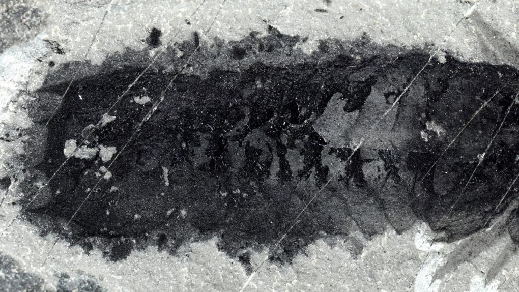 Mollisonia plenovenatrix