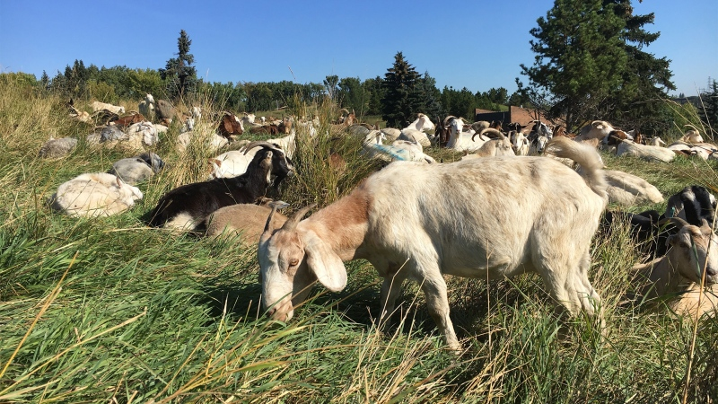 Goats in Edmonton's Rundle Park on Sept. 12, 2019. (Evan Klippenstein/CTV News Edmonton)