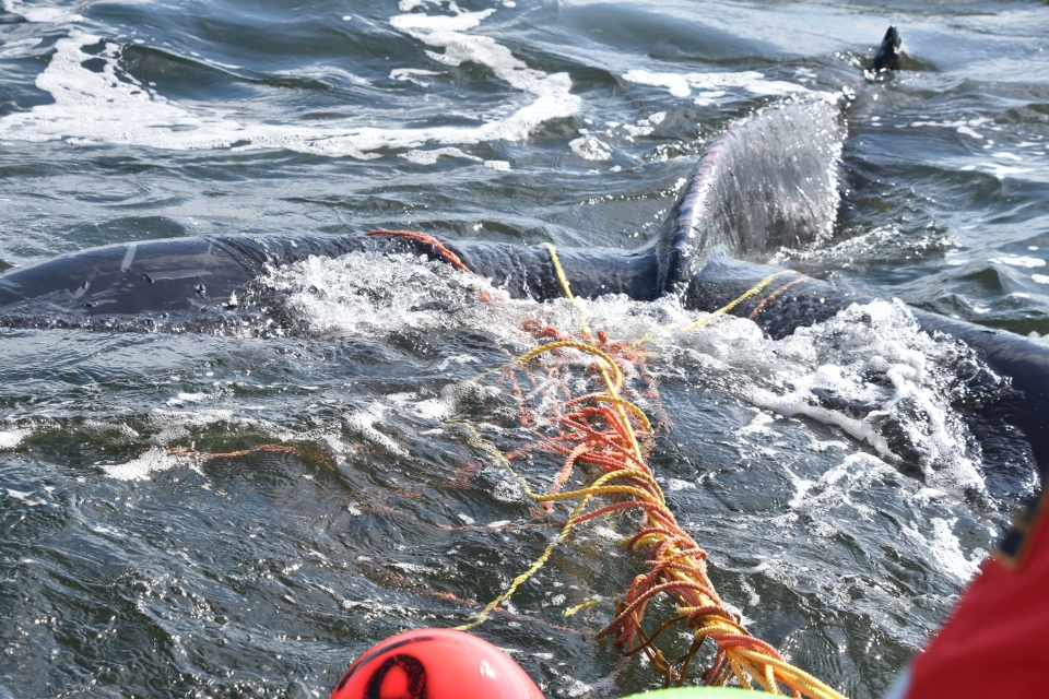 DFO and Canadian Coast Guard workers disentangle humpback whale calf: Sept. 10, 2019 (Photo courtesy of Fisheries and Oceans Canada)