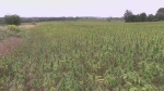 Fields to Forks: CannaCollective hemp farming