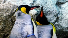 Arthur (left) and Nero (right are same sex king penguins co-parenting a chick at the Calgary Zoo.