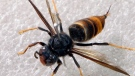 An Asian giant hornet is pictured.