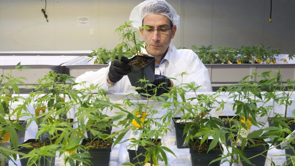 Dale Wilesack looks at cannabis seedlings at the new Aurora Cannabis facility in Montreal, on Nov. 24, 2017. (Ryan Remiorz / THE CANADIAN PRESS)