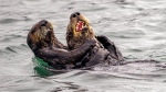 """""""Sea Otter Tickle Fight"""" (Andy Harris / Comedy Wildlife Photo Awards 2019)"""