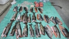 Some of the fish seized in the 2019 incident on Vancouver Island are shown: (Nootka Sound RCMP)