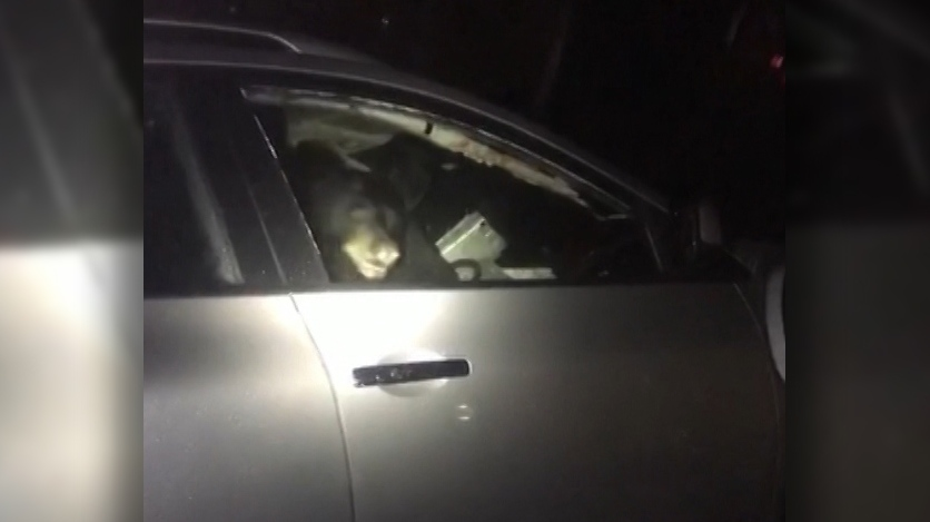 Video provided by the Port Moody Police Department shows a bear that managed to lock itself inside a car early Friday morning.