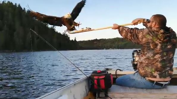 Northern Ontario angler has close encounter with a bald eagle