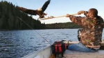 Angler Kevin Labrosse sacrificed his walleye to a bald eagle after it swooped down as he was reeling it in. (Supplied)