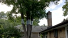 A North York homeowner who is allergic to nuts wants this walnut tree removed from the property's backyard. (City of Toronto)