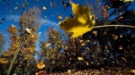 Park workers use a tractor with a industrial leaf blower to pile up fall leaves at High Park in Toronto on Oct. 28, 2013. (Nathan Denette / THE CANADIAN PRESS)